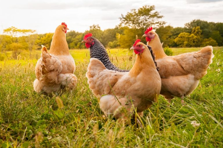 6 Benefits of Eating Poultry